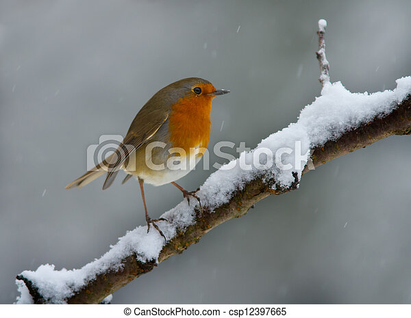 Robin in the snow - csp12397665