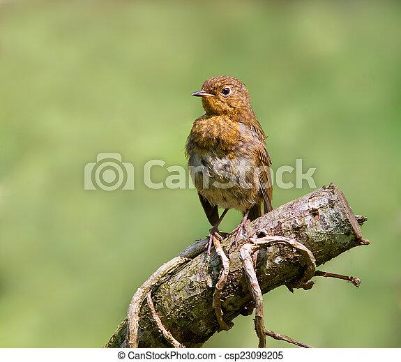 Robin (Juvenile) - csp23099205