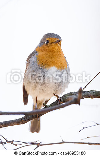 robin on a branch - csp46955180