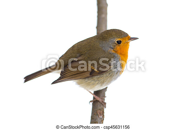 robin on a branch - csp45631156