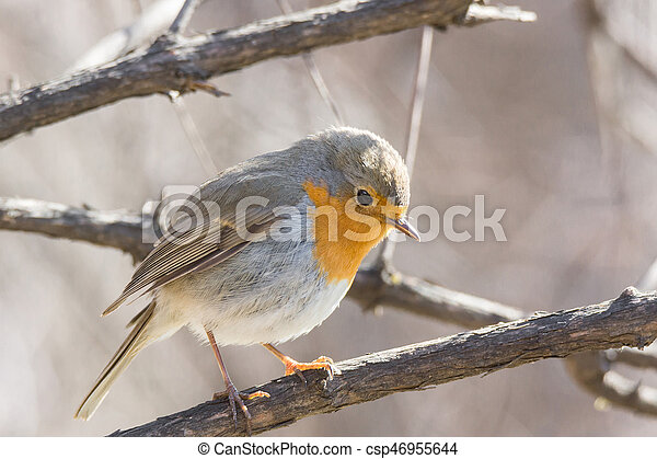 robin on a branch - csp46955644
