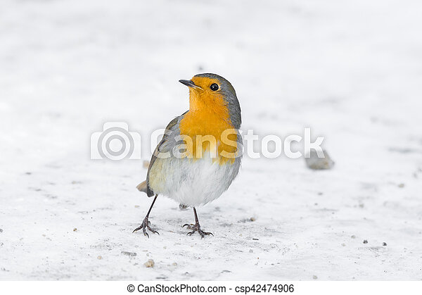 robin on a branch - csp42474906