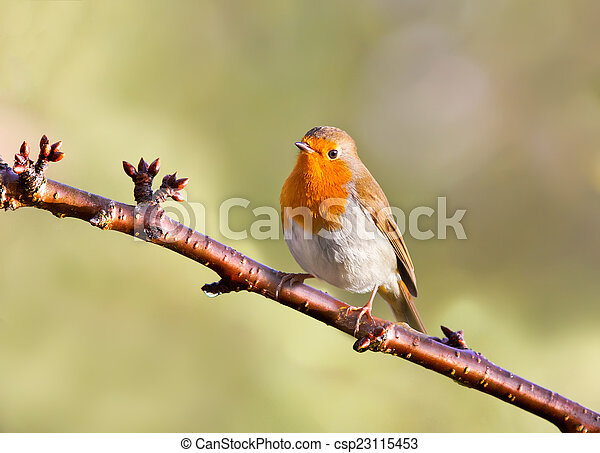Robin on a tree - csp23115453