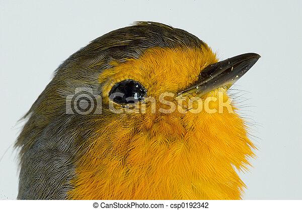 Robin - csp0192342