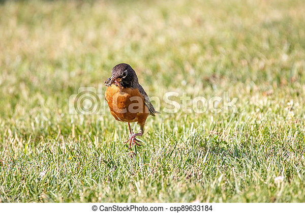 Robin With Insects in its Beak - csp89633184