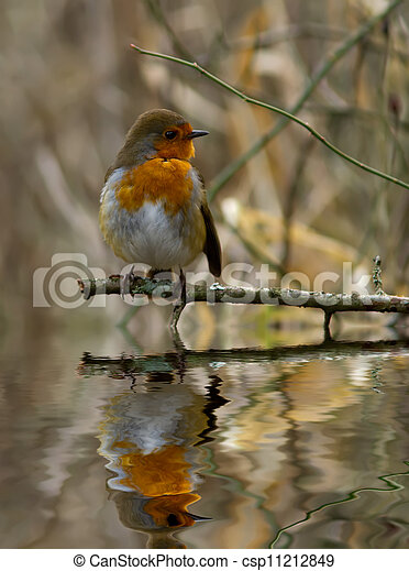 Robin with reflection. - csp11212849