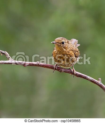 Robin,juvenile,Erithacus rubecul - csp10458865