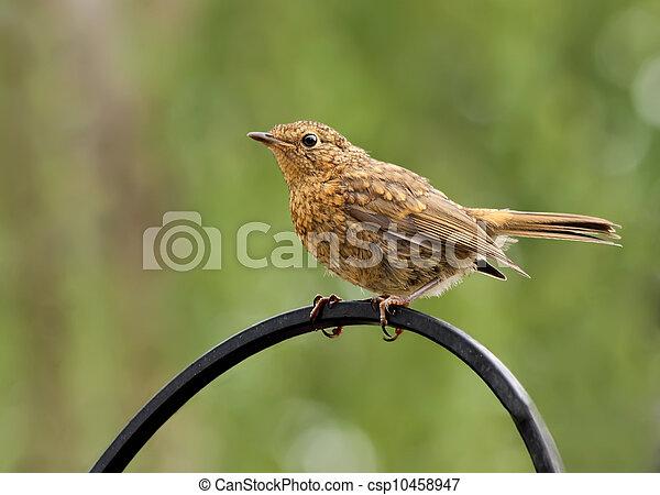 Robin,juvenile,Erithacus rubecula - csp10458947