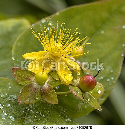 rocío, hypericum, flor, amarillo - csp74082678