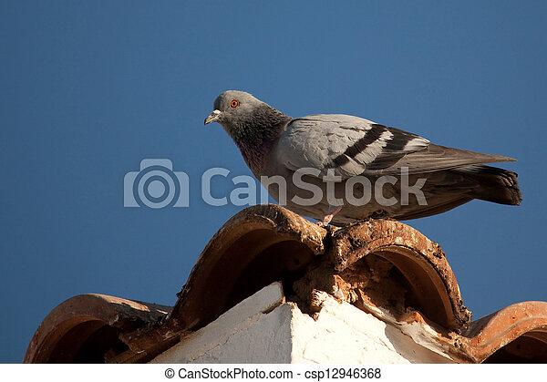 Rock Pigeon - csp12946368