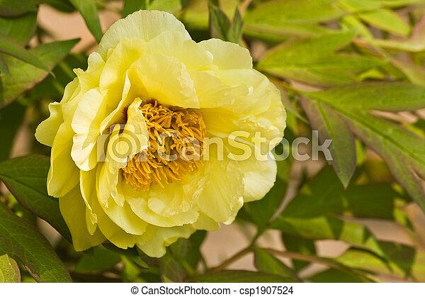 Rocks peony or rocks tree peony with yellow flowers in spring rocks peony or rocks tree peony with yellow flowers in spring mightylinksfo
