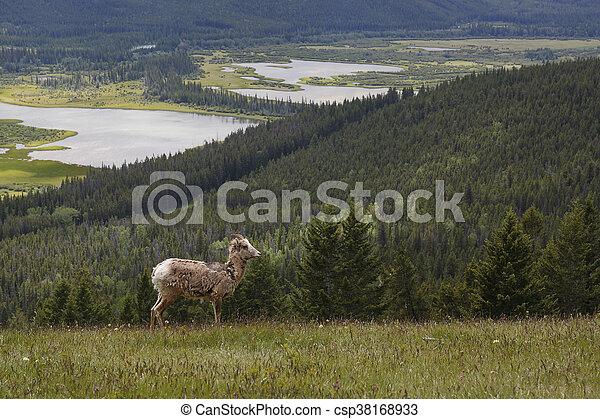 Rocky Mountain Bighorn Sheep - Banff National Park - csp38168933
