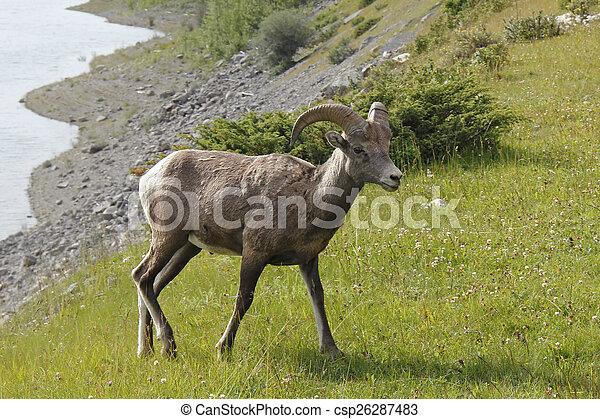 Rocky Mountain Bighorn Sheep - Jasper National Park, Canada - csp26287483