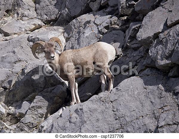 Rocky Mountain Bighorn Sheep - csp1237706