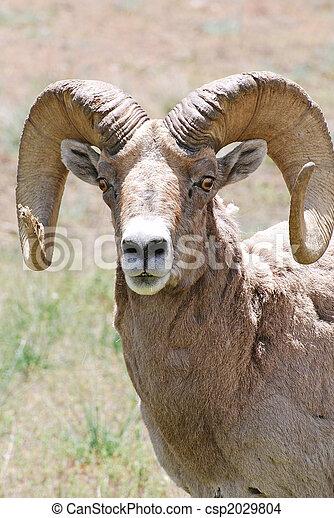 Rocky Mountain Bighorn Sheep - csp2029804