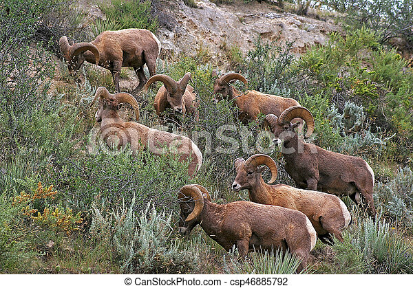 Rocky Mountain Bighorn Sheep - csp46885792