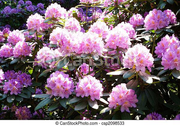 Fotograf as de archivo de rododendro full blown - Rododendro arbol ...