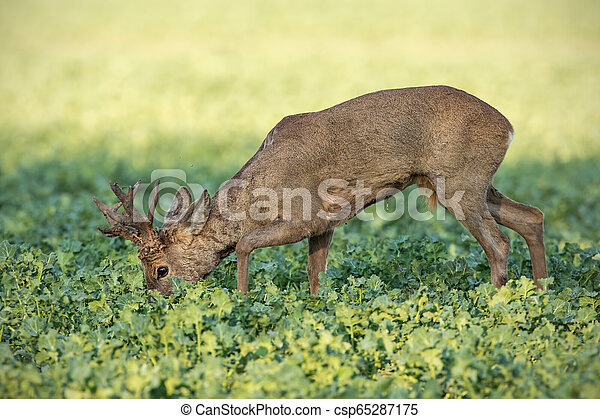 Roe deer buck feeding on rapeseed oil field - csp65287175