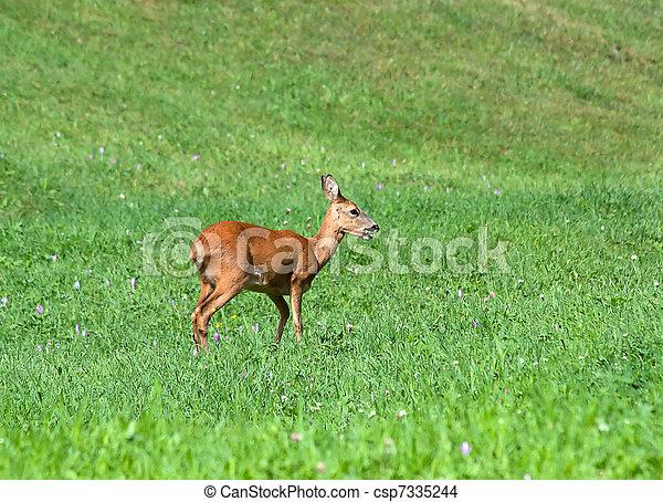 Roe Deer - csp7335244