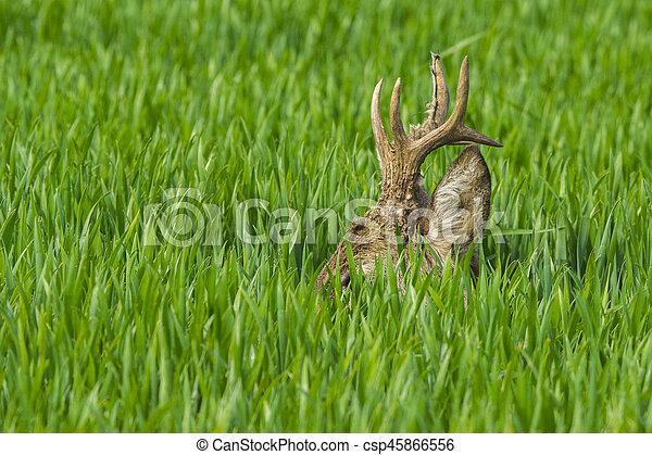 Roebuck in the grass - csp45866556