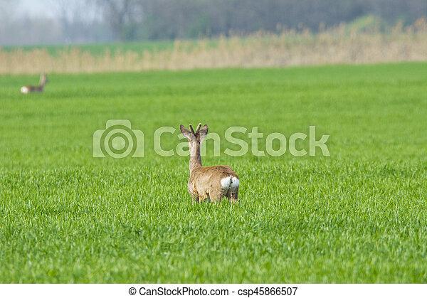 Roebuck in the grass - csp45866507