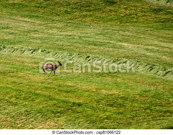 roebuck on a meadow in spring in Germany - csp81066122