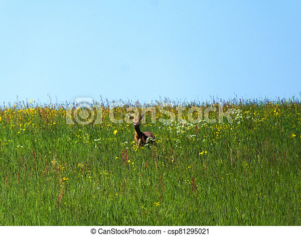 roebuck on a meadow in spring in Germany - csp81295021
