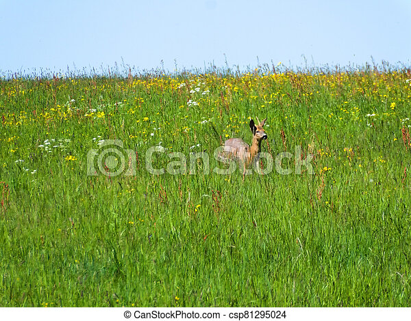 roebuck on a meadow in spring in Germany - csp81295024