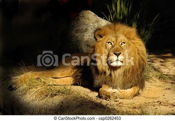 roi, lion, sauge - csp0262453