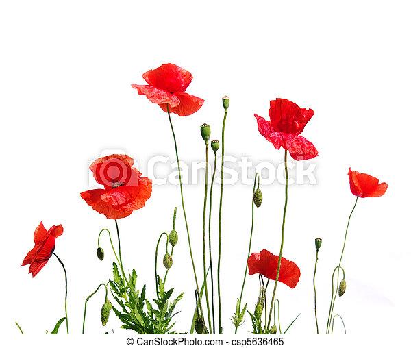Amapolas rojas - csp5636465