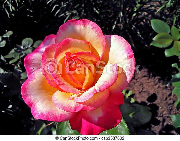 roos, bloem - csp3537602