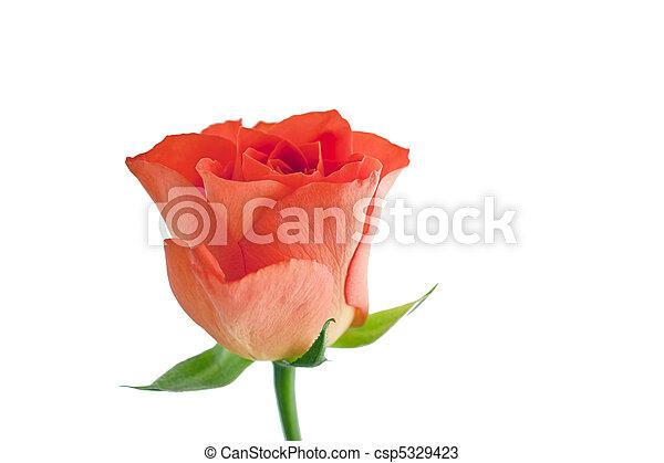 roos, perzik - csp5329423