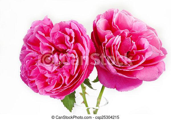 rooskleurige rozen - csp25304215