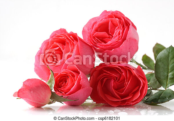 rooskleurige rozen - csp6182101