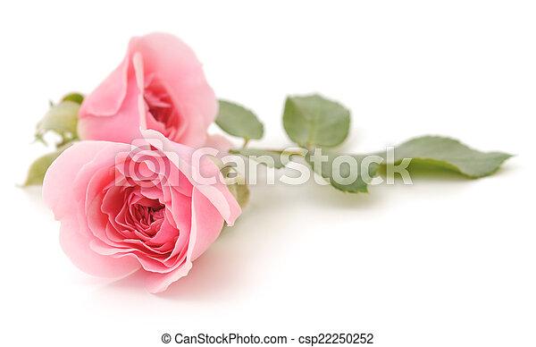 rooskleurige rozen - csp22250252