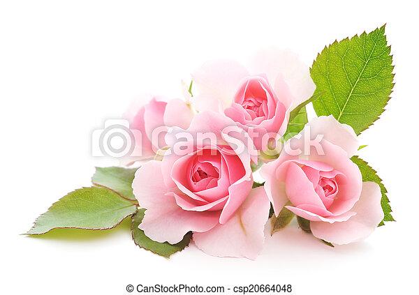 rooskleurige rozen - csp20664048