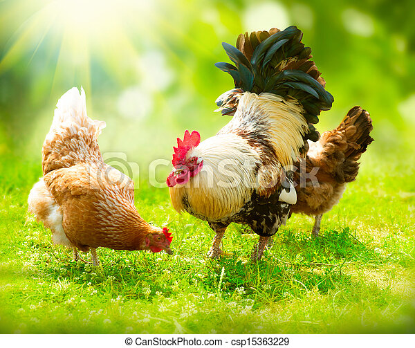 Rooster and Chickens. Free Range Cock and Hens - csp15363229