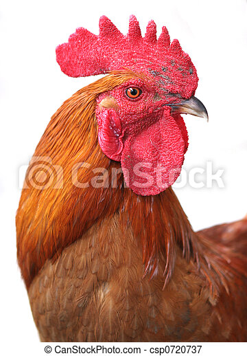 Rooster - csp0720737
