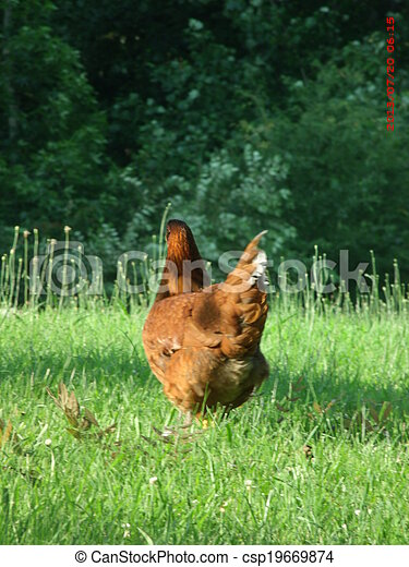 Rooster - csp19669874