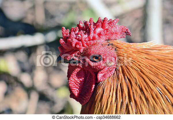 rooster - csp34688662