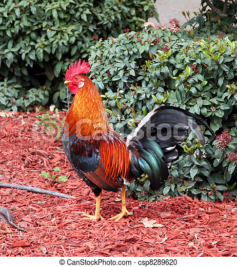 Rooster Cage Free Colourful Rooster American Brown Leghorn Rooster