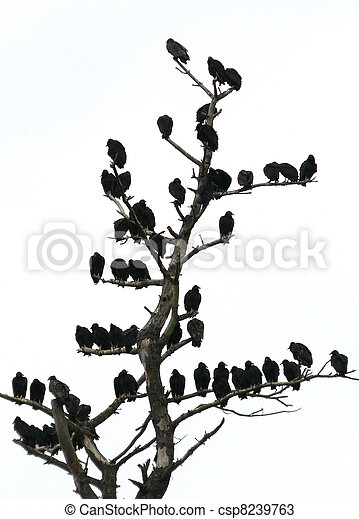 roosting vultures - csp8239763