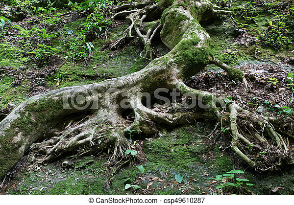 Roots of old tree covered with green moss - csp49610287