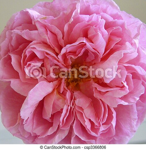 Limonada rosa 3 - csp3366806