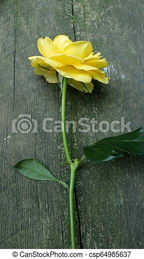 rosa, amarela, caule, madeira, longo, fundo - csp64985637