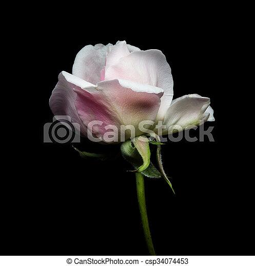 Un primer plano de una rosa blanca de fondo negro. - csp34074453