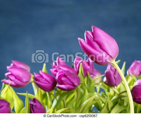 Tulipanes flores rosas en el fondo del estudio azul - csp6259367