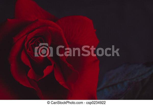 rosa - csp0234922