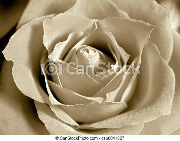 rosa, bianco, sepia - csp0041827