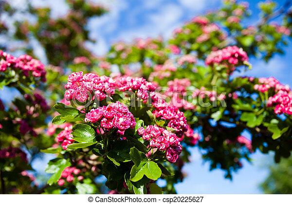rosa bl ten wei dorn baum rosa wei dorn spring stockfoto bilder und foto clipart. Black Bedroom Furniture Sets. Home Design Ideas